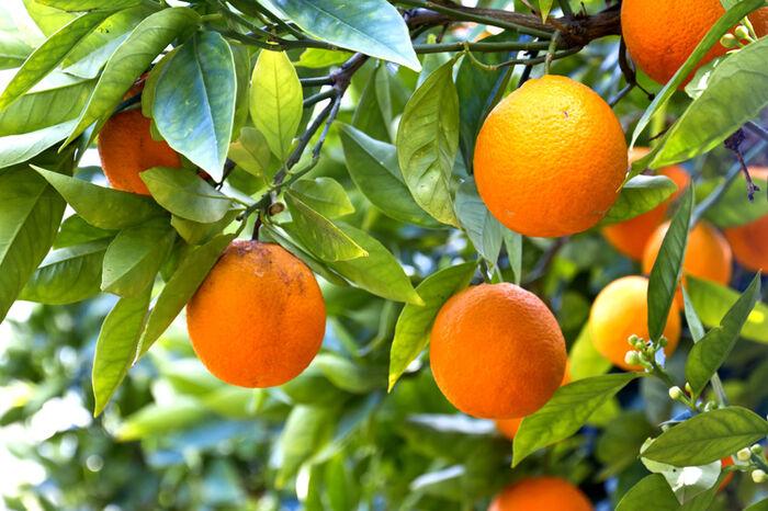 Kuvahaun tulos haulle appelsiinipuu